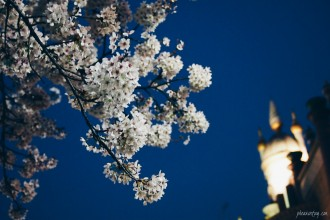 night cherry blossom seoul
