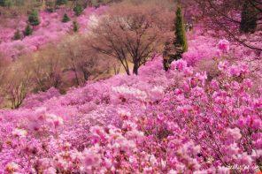 Blooming Azaleas: Wonmi Mountain Azalea Festival