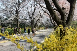 Cherry Blossom in Seoul: Namsan Park